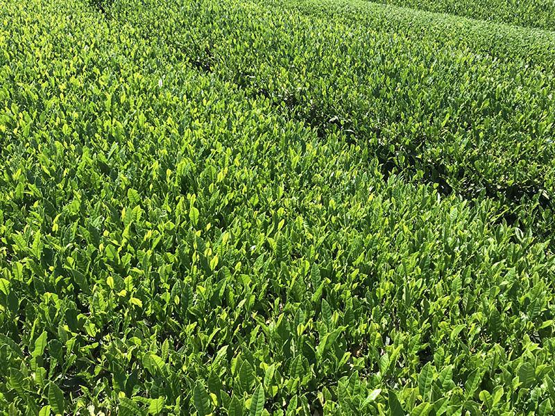 三ツ木園製茶のグリーンツーリズム